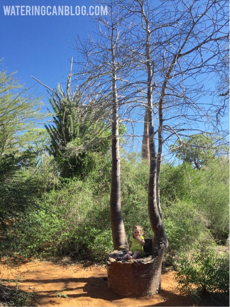 Baobob tree, Ifaty, Madagascar