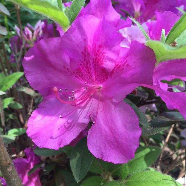 Azaleas at Fox Ridge