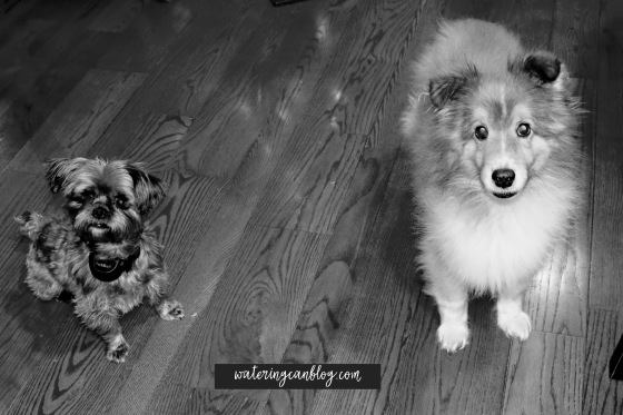 A Shorkie and a Sheltie