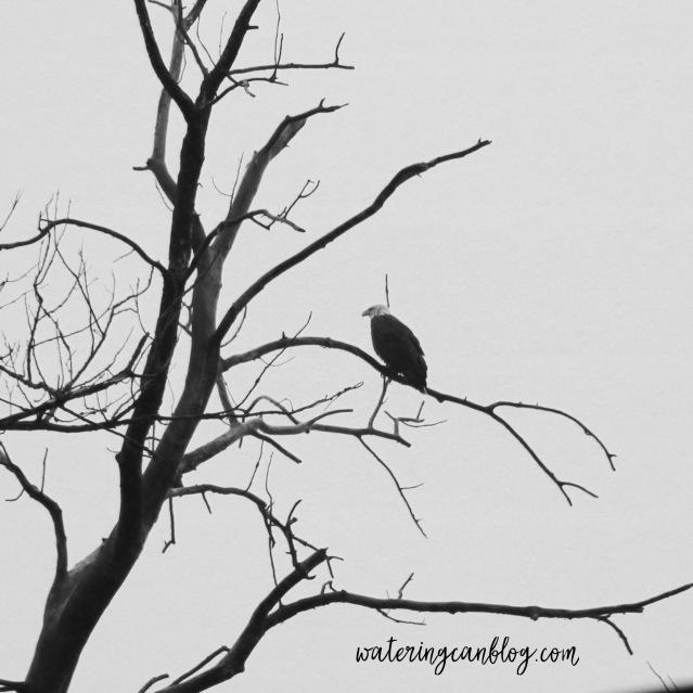 Eagle, Grafton, IL